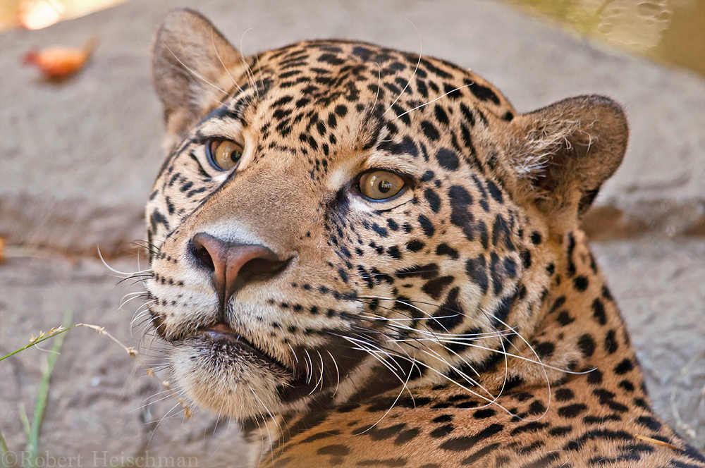 Jaguar 1127 by robbobert