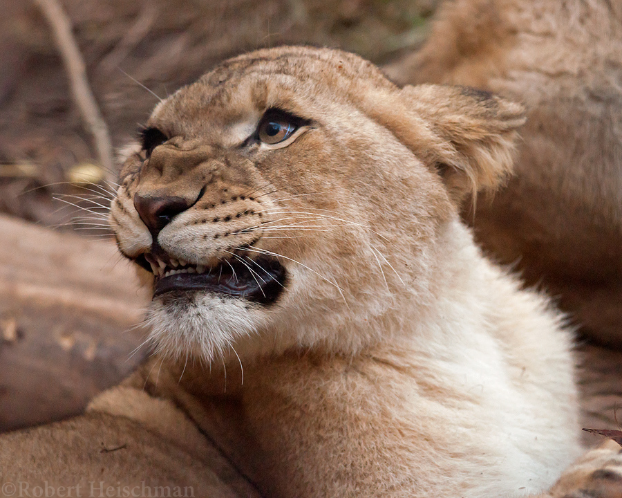 Lion Cub 9171 by robbobert
