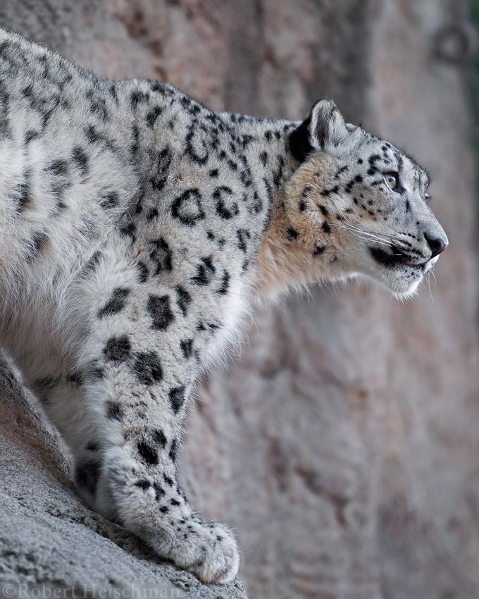 Snow Leopard 2429 by robbobert