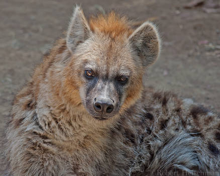 Spotted Hyena 0218