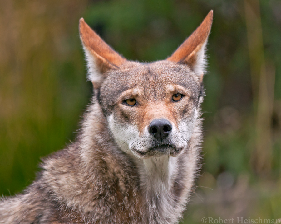Red Wolf 9346 by robbobert