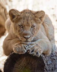 Lion Cub 0129 by robbobert