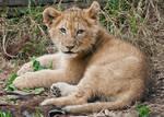 Lion Cub 0280
