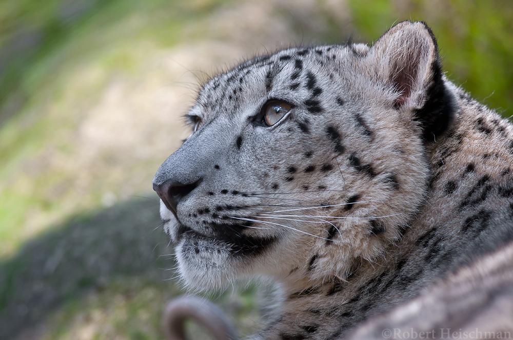 Snow Leopard 2734 by robbobert
