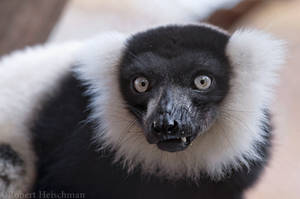 Cheeky Lemur by robbobert