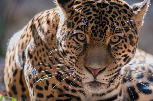 Jaguar 6363