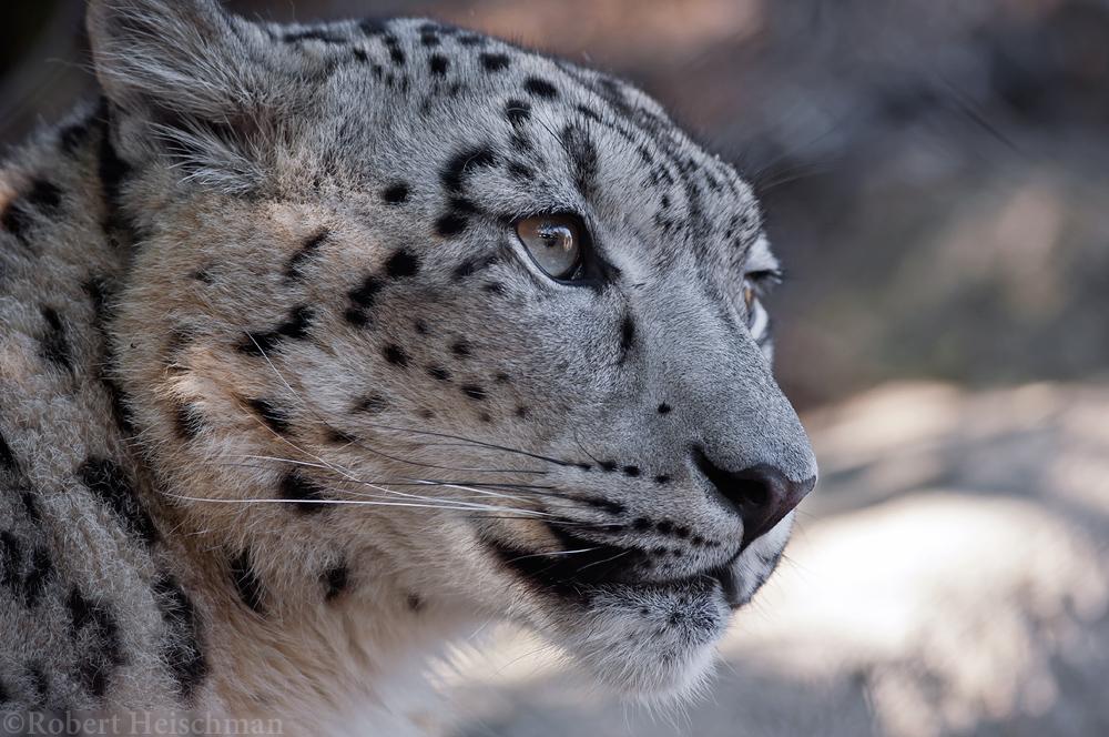 Snow Leopard 2908 by robbobert