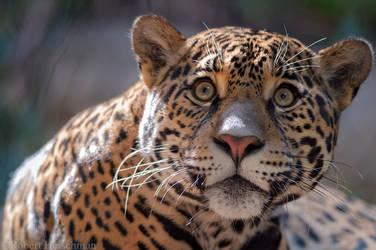 Jaguar 6390 by robbobert