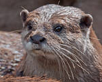 Asian Small-Clawed Otter 0879
