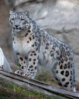 Snow leopard 7612 by robbobert
