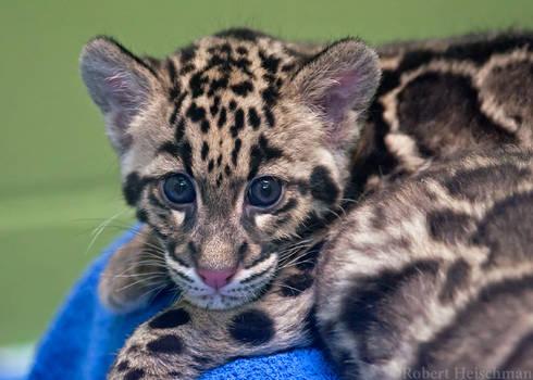 Clouded Leopard Cub 0193