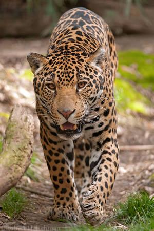 Jaguar 8256 by robbobert
