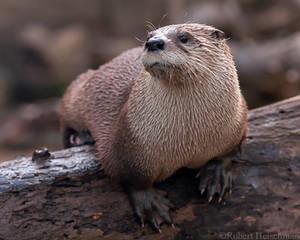 North American River Otter 7181