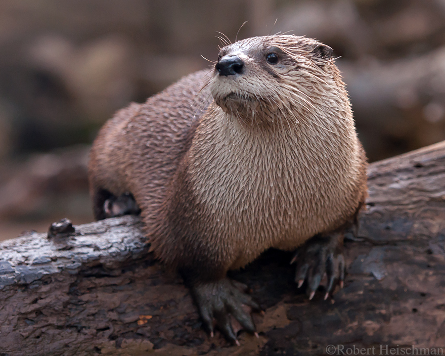 North American River Otter 7181 by robbobert