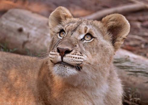Lion Cub 0256