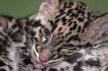 Clouded leopard cub 8102 by robbobert