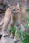 Mountain Lion 1780