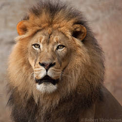 African Lion 8946