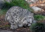 Snow leopard cub 0924