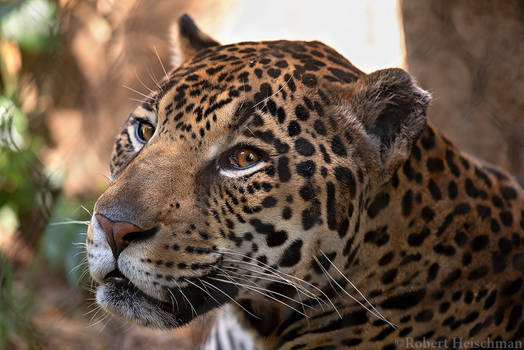 Jaguar 0675