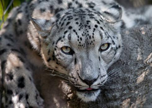 Snow leopard 0417
