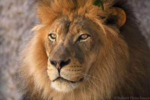 African Lion 0054