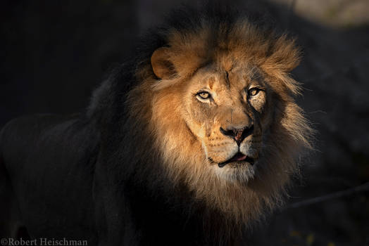 African Lion 7855