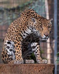 Jaguar 7310