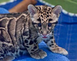 Clouded Leopard Cub 0059