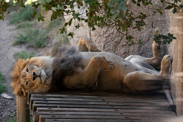 African Lion 0121