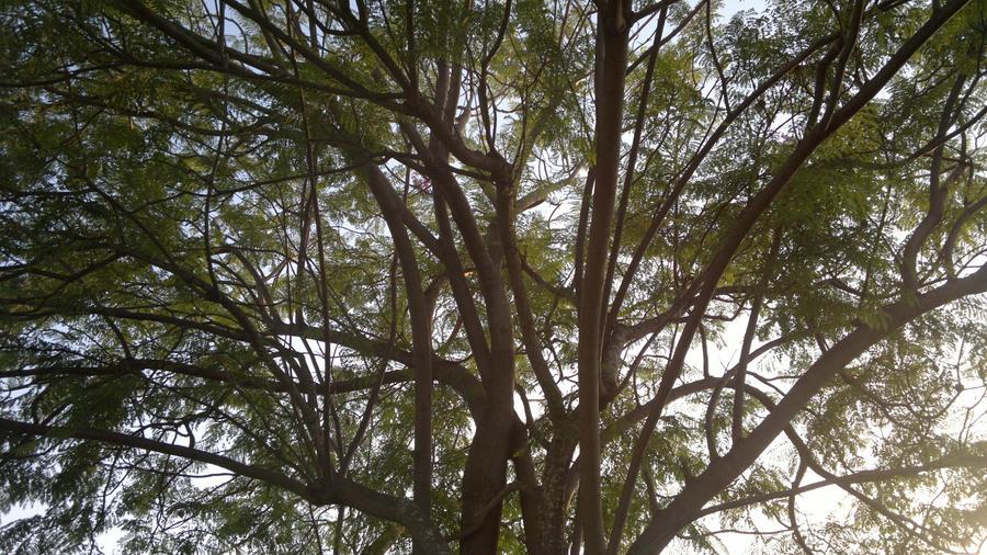 Big tree by Shantifiy