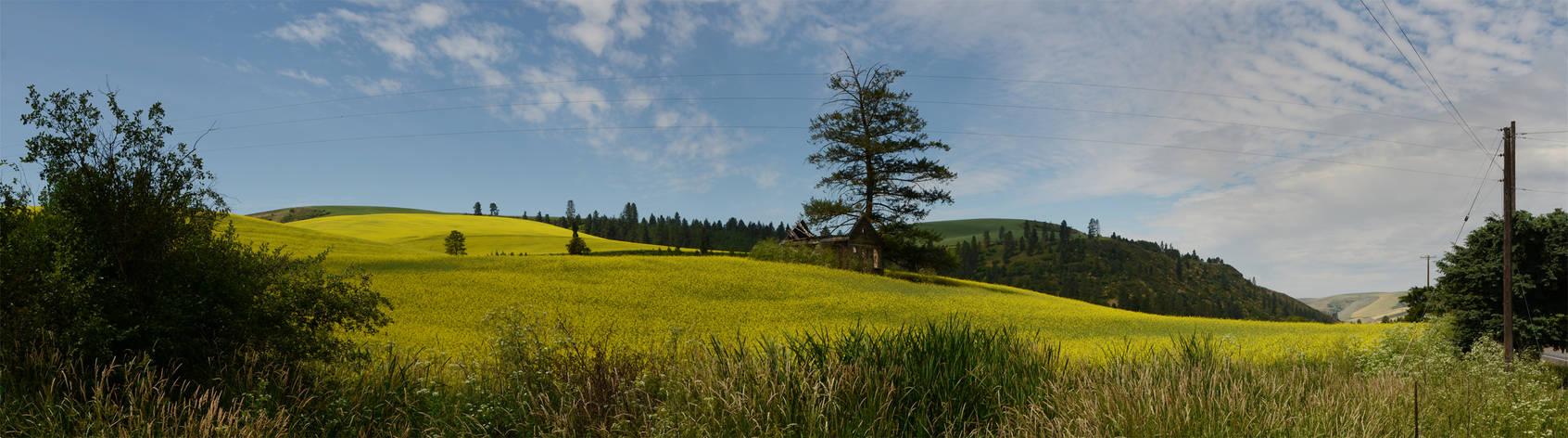 Mustard field 2012-06-30