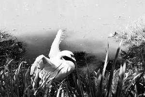Swan by markeatworld