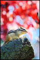 Chipmunk in Autumn by simzcom