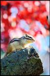 Chipmunk in Autumn
