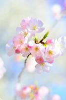 Cherry Blossom 2 by simzcom