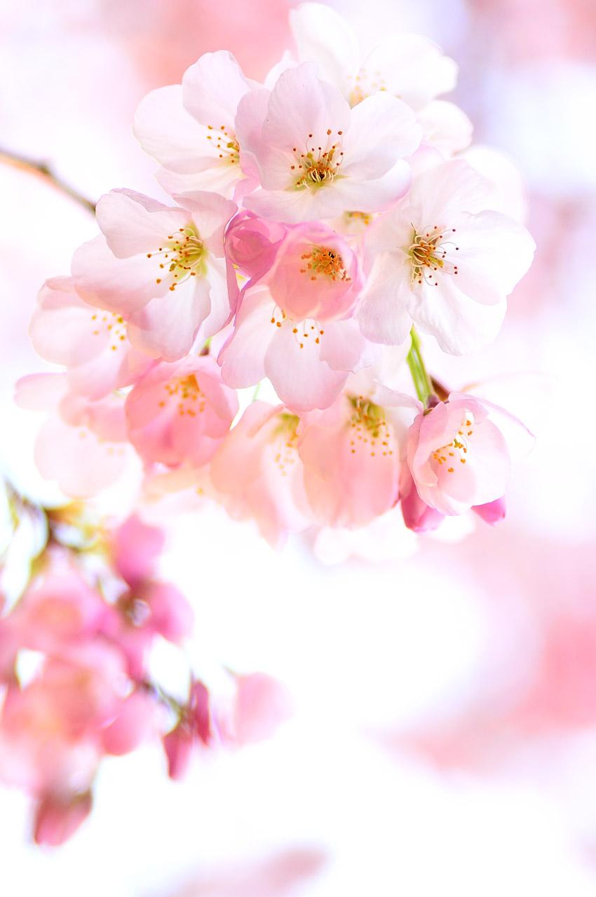 Cherry Blossom Bouquet by simzcom on DeviantArt