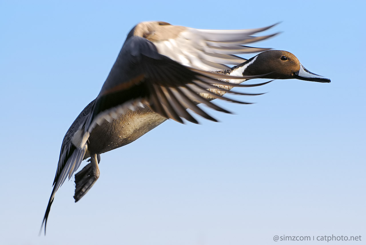 Flying Pintail by simzcom on DeviantArt
