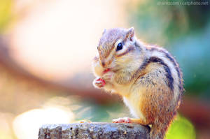 Chipmunk at Lunch by simzcom