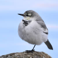 Rounded White Wagtail by simzcom