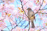 Brown-eared Bulbul with Cherry Yoshino by simzcom