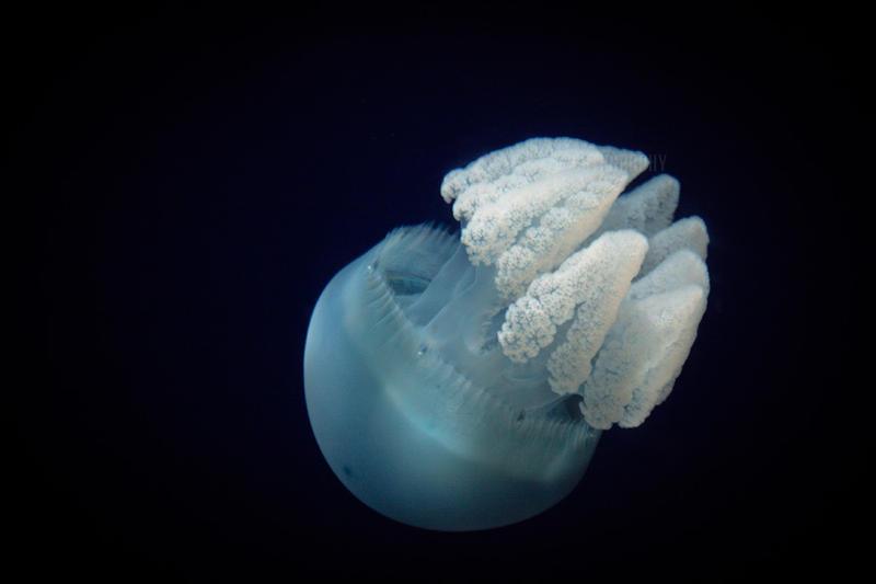 Jellyfish 2 by markaroni
