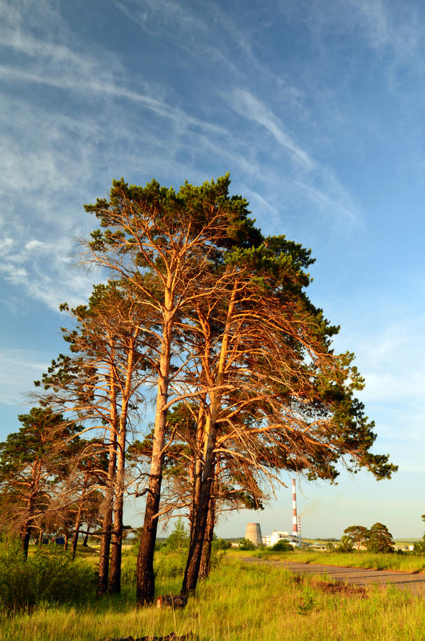 Golden Pines by SniperOfSiberia