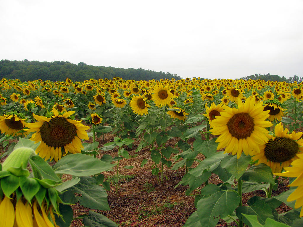 Sunflower Field Stock 2 by Cinnamoncandy-Stock
