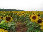 Sunflower Field Stock 2
