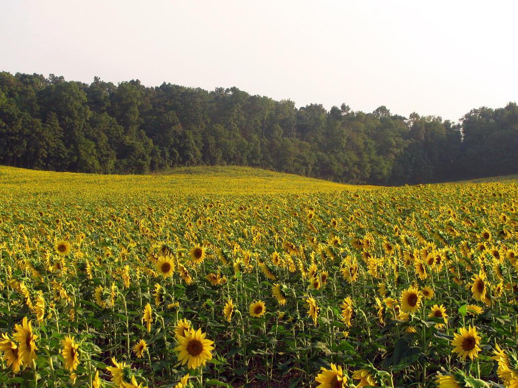 Sunflower Field Stock 7 by Cinnamoncandy-Stock