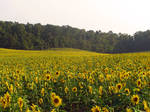Sunflower Field Stock 7 by Cinnamoncandy-Stock