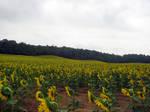 Sunflower Field Stock 13