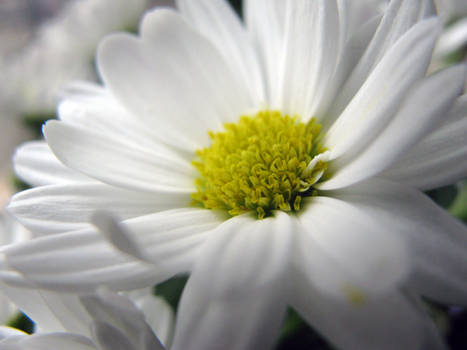 White Flower Stock 2