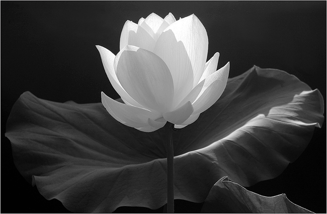 Black n white flower by killerwolf365